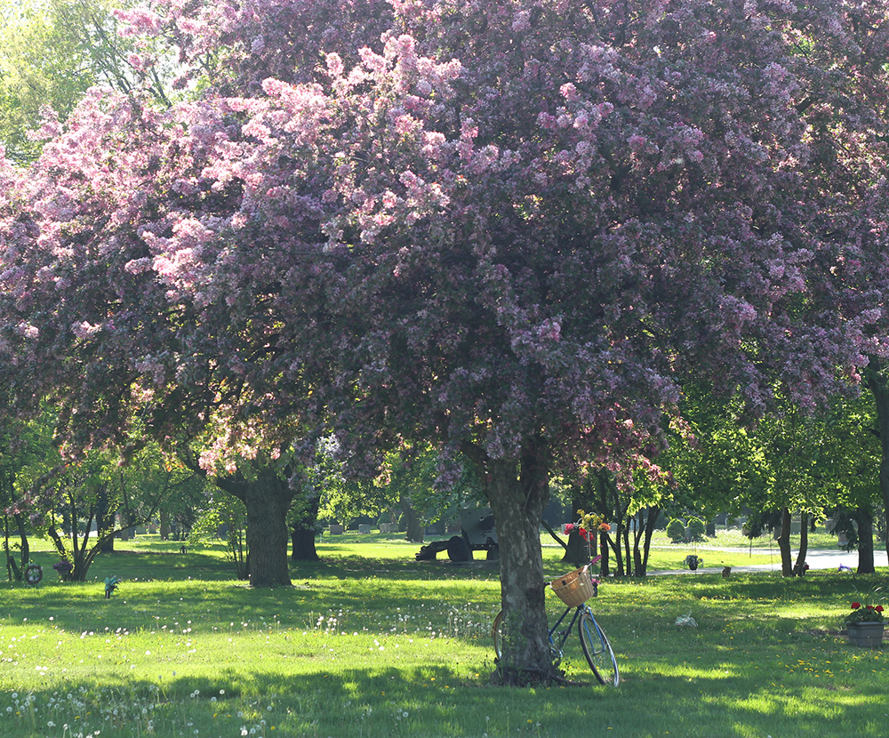 blossom tree and bicycle