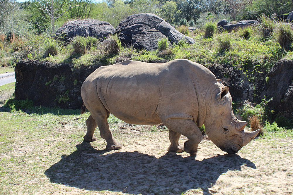 disneyworld animal kingdom kilimanjaro safari