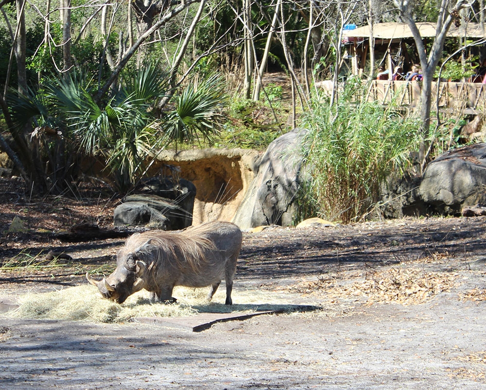 disneyworld animal kingdom pumba safari