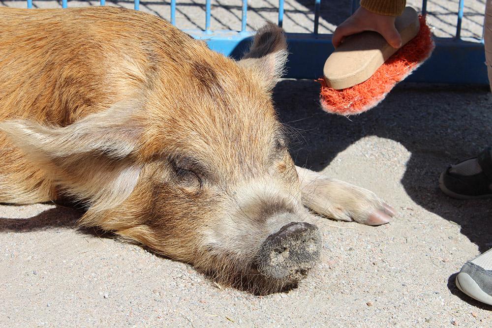 disneyworld animal kingdom rafiki planet watch petting zoo