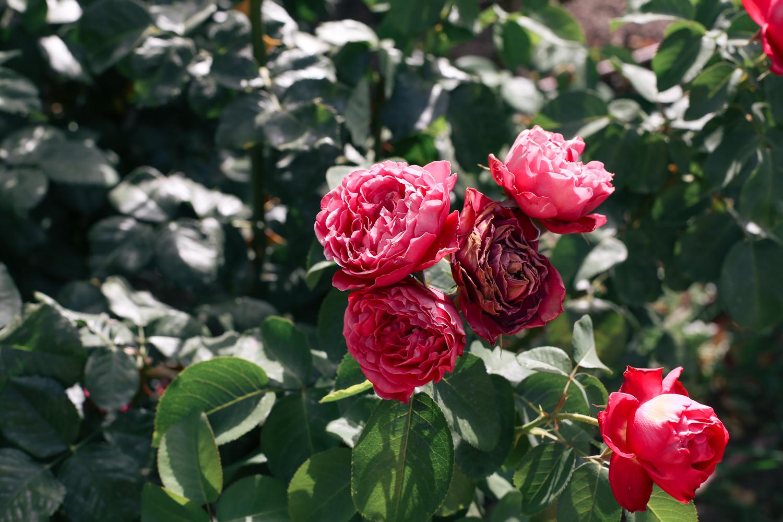 roselada madrid retiro park (1 of 5)