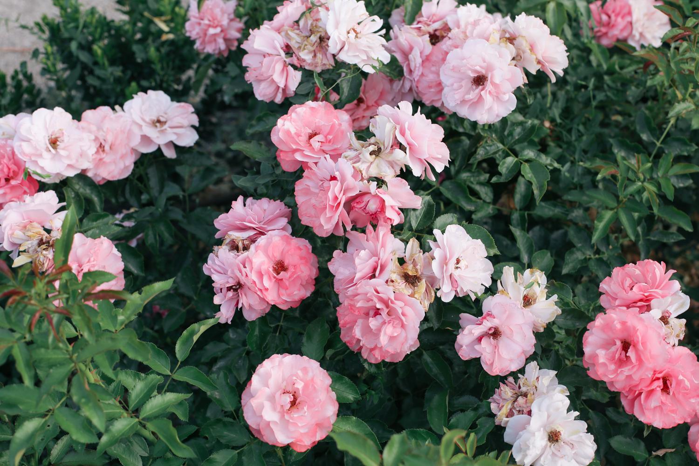 roselada madrid retiro park (3 of 5)