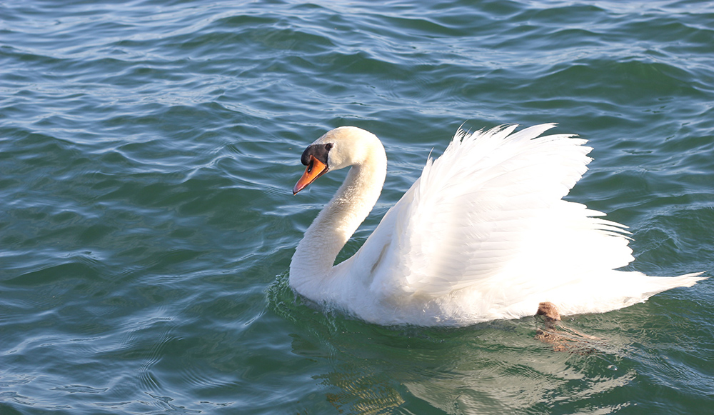 swan in toronto harbourfront